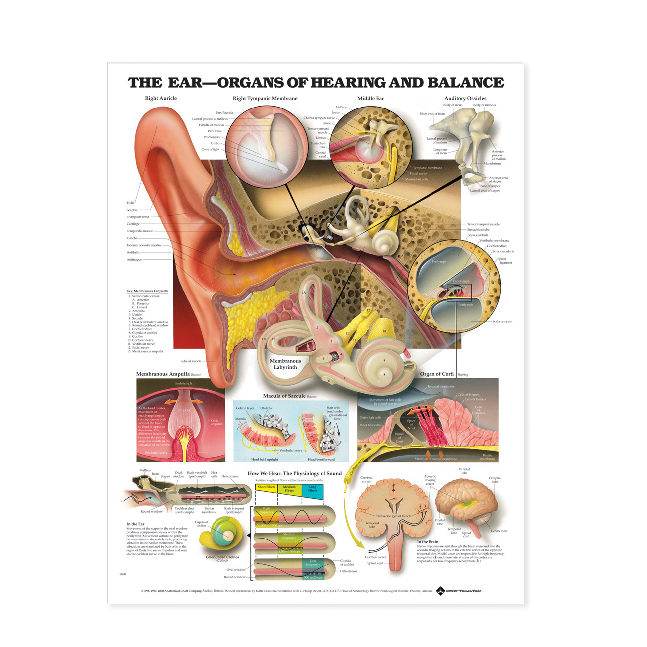 The Ear - Organs of Hearing and Balance - Laminated Chart Poster 20 in